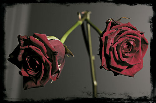 roses-and-thorns--large-prf-1218635248